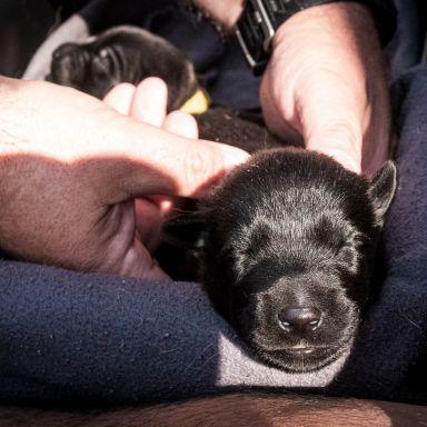 Šteniatka belgického ovčiaka